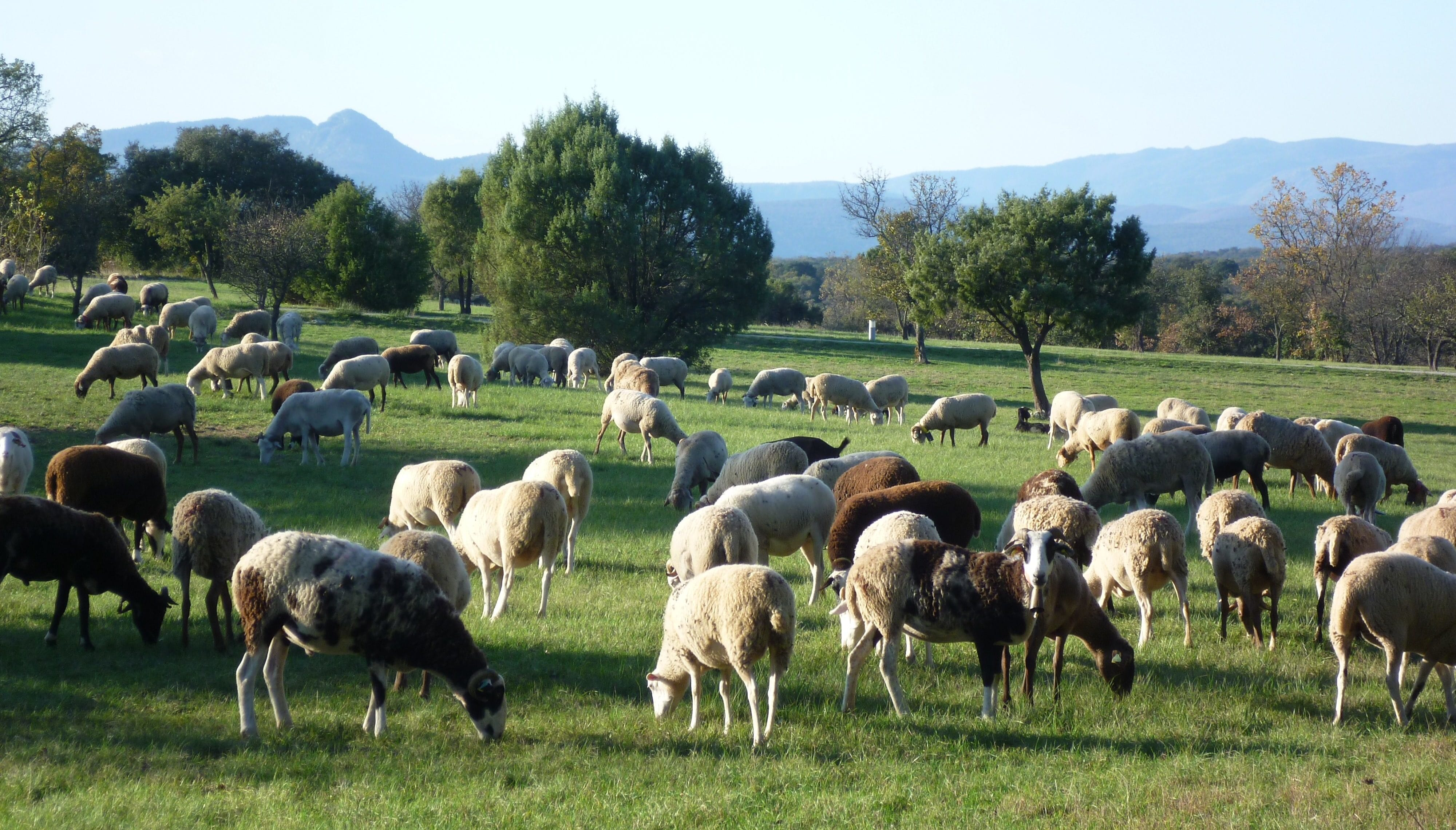 Moutons dans un champs. Photo : CCGPSL