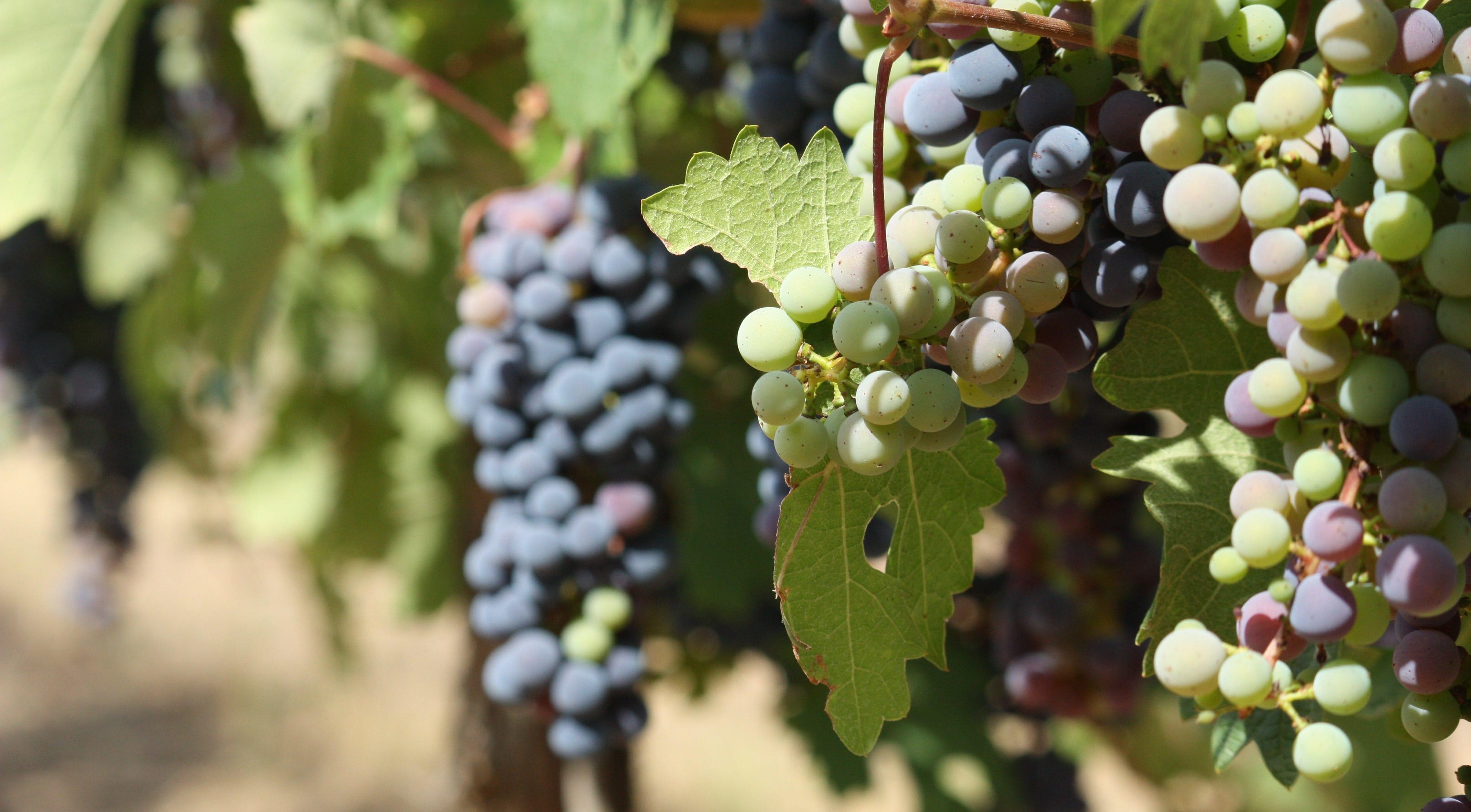 Vigne et raisin à Vacquières. Photo : Christophe Colrat