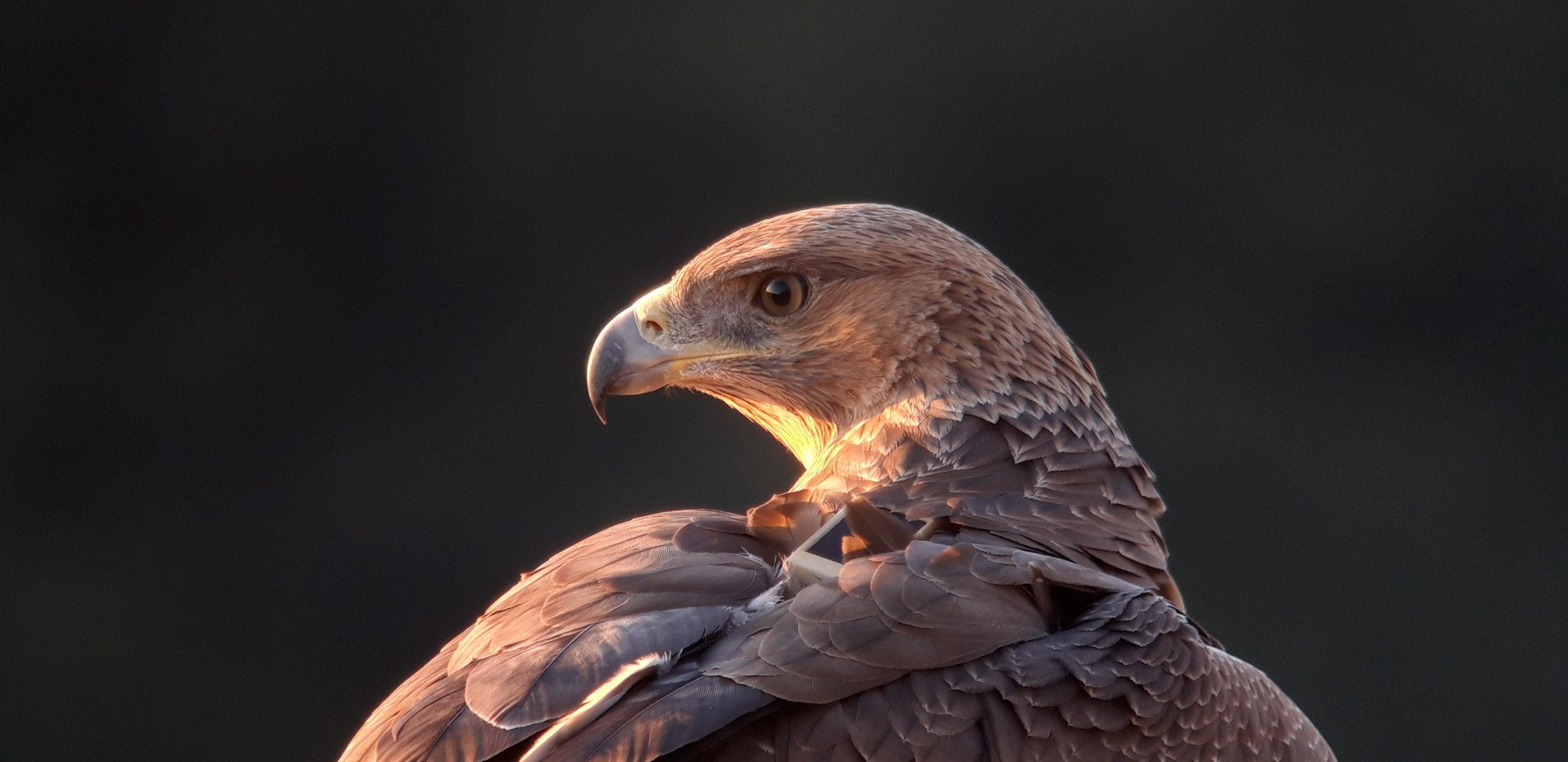 Un jeune Aigle de Bonelli . Photo : Guillaume Fréchet