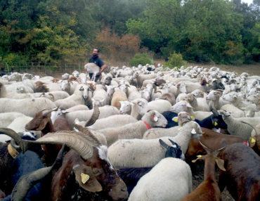 Patrick Mayet et son troupeau. Photo : Thierry Alignan